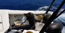 แมวน้ำตัวอ้วนชวนฮา ว่ายน้ำตามทวงปลาคืน!