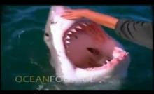 ใจกล้ามาก!! ใช้มือเปล่าลูบปลาฉลาม