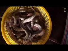 มาดู! ตังเกลากอวน งูในทะเล กว่า 80 ตัน