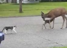 หมาแมวหนีกระเจิง เมื่อเจอแม่กวางไล่กระทืบ