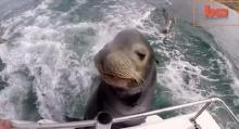 สิงโตทะเล จอมตะกละ เกาะท้ายเรือ ขออาหารกิน