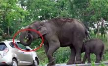 เงิบไปเลยครัช!!!นักท่องเที่ยวมัวถ่ายเซลฟี่ โดนช้างฉกกระเป๋าเข้าปากเฉย