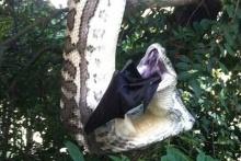 สาวมะกันถ่ายคลิปหาชมยาก นาทีงูหลามยักษ์เขมือบค้างคาว