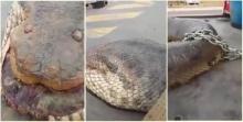 โอ้วแม่เจ้า!!! ของจริงป่ะเนี่ย งู ตัวเบ่อเร่อถูกล่ามไว้บนรถบรรทุก