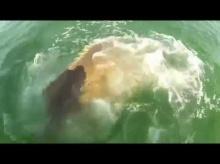 เหนือฟ้ายังมีฟ้า!! ปลาเก๋ายักษ์เขมือบปลาฉลามโชว์