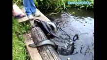 มาดูวิธีการให้อาหารปลาไหลไฟฟ้า..เห็นแล้วยั้วเยี้ยไปหมด
