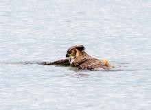 ทึ่ง! นกฮูกหนีเหยี่ยวโดยการลงไปว่ายน้ำ!!