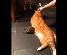เต่าขี้โมโห ไล่กัดแมวซะงั้น
