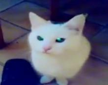 ชาวเน็ตชมเปราะ!! แมวร้องออกมาคล้ายเสียงคนพูด ดูกี่รอบก็น่ารักสุดๆ