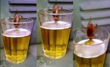 เคยเห็นมั้ย? แมลงสาบดื่มเบียร์!