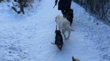 หมาตัวใหญ่ จูงหมาตัวเล็กเดิน แสนรู้เวอร์!