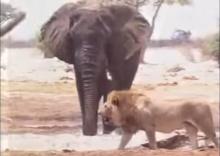 ดุเดือด!! วินาทีสิงโตกินช้าง