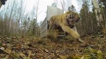 ระทึก!! วินาทีปล่อย เสือโคร่งไซบีเรียกลับคืนสู่ป่า
