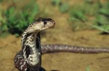 """""""จับงูเห่าฝีมือขั้นเทพ"""" ทำมา 8 ปี ไม่เคยโดนงูกัดแม้แต่ครั้งเดียว!!!"""