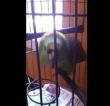 เหมือนเวอร์!!! นกแก้ว เลียนเสียง เด็กร้องไห้!!