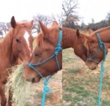 อิจฉาเลยครัช!!! เมื่อม้าตัวผู้คาบฟางมาให้แฟนกิน จะหวานไปไหนพี่ม้า!!!