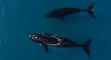 น่ารักอะ!! วาฬสองตัวออกมาเล่นกับนักเซืร์ฟ