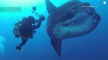 ตื่นตา!! นักประดาน้ำชมปลาแสงอาทิตย์ไซด์มหึมาแบบประชิด
