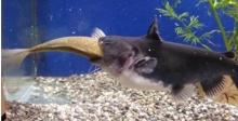 ปลาจอมโหดเขมือบปลาตัวเท่ากันเฉยเลย