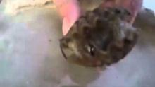 ปลาหมึก ซ่อนตัวในเปลือกหอย!!