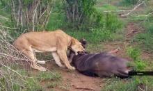 """สตรอง! """"วัวป่า""""เอาชีวิตรอดจาก """"สิงโต""""ด้วยวิธีการแกล้งตาย"""