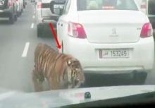 เจอแบบนี้มีช็อค!!เจ้าของปล่อยเสือลงมาวิ่งบนถนนตอนรถติด