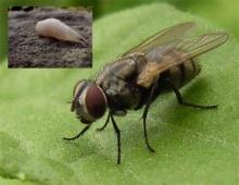 ดูกันชัดๆ!! วิวัฒนาการจากหนอนสู่แมลงวัน ขนลุกไปดิ...