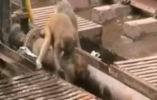 สุดซึ้ง!! ลิงฮีโร่ช่วยชีวิตเพื่อนโดนไฟฟ้าชอร์ต มาดูกันว่าช่วยได้หรือไม่