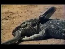 หาดูยาก งูเห่า ปะทะ มังกรโคโมโด ใครจะรอด?