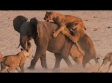 ช้างป่าใจเด็ด! สู้กับสิงโตเป็นฝูง รอดมั้ยดูกัน
