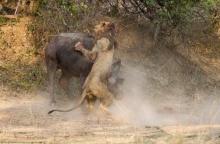 นาทีชีวิต สิงโต vs ควาย ดุเดือดกลางป่า ก่อนสิ้นใจตายทั้งคู่