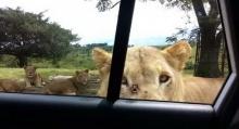 เกือบหัวใจวายทั้งคัน! เมื่อสิงโตดันเปิดประตูรถเองได้ (มีคลิป)