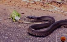 ดุเดือด!! งูแบล็กแมมบ้า-กิ้งก่า ต่อสู้กันสุดท้ายใครชนะ ?