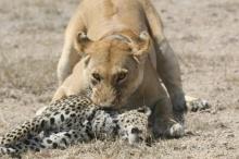 ระทึก!! การต่อสู้ระหว่างเสือดาวกับสิงโต