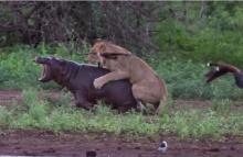 นาทีสิงโตจู่โจมลูกฮิปโป แต่สุดท้าย !??