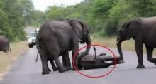 เกิดอะไรขึ้น!!! เมื่อจู่ๆลูกช้างก็ล้มลงกลางถนน และฝูงช้างที่เหลือก็เข้ามาช่วย!!