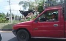 อึ๊งป่ะล่ะ!! น้องหมาทักษะเยี่ยม โชว์ยืนหน้ารถกระบะ ขณะวิ่งกลางถนน