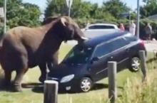 ดูกันเต็มๆ! คลิปช้างไล่พังรถท่องเที่ยวซะเยินในเดนมาร์ก