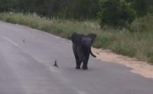 สุดน่ารัก! ลูกช้างตัวน้อยวิ่งไล่จับฝูงนกนางเเอ่น