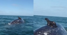 เฮ้ยน่ารักอ่ะ!! แมวน้ำขี่หลังปลาวาฬอวดนักท่องเที่ยวกลางทะเล!!