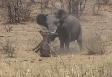 นาทีชีวิตสุดโหด!!ช้างป่าคลั่งใช้งาแทงควายป่าดับอนาถ