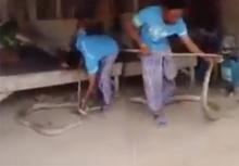 สุดยอดลูกพี่!! จับงูจงอางเข้าบ้านคนตัวเป็นๆ ด้วยมือเปล่า