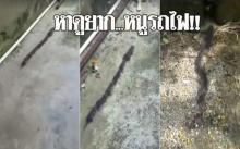 หาดูยาก!! เคยเห็นกันรึยัง? หนูย้ายบ้าน ต่อแถวเป็นขบวนรถไฟ ดูใกล้ๆ นึกว่างู!!! (คลิป)
