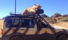 เสือขี้เซา ขึ้นไปนอนบนหลังคารถ ไม่แคร์แม้รถเคลื่อนที่!