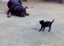 กล้าไปมั้ย? ลูกแมวน้อย ท้าชนหมาพันธุ์ดุ ร็อตไวเลอร์