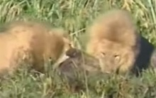 สิงโต 2 พี่น้อง สังหาร(โหด)ไฮยีน่า