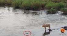 เกือบไปแล้ว! สิงโตว่ายข้ามแม่น้ำไม่ทันเห็นไอ้เข้ยักษ์ หวิดโดนเขมือบ
