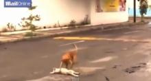 น้ำตาไหล! เจ้าหมาพยายามช่วยชีวิตเพื่อนอีกตัวกลางถนน