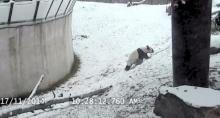 แพนด้าสุดฟิน กลิ้งไถลตัวกับหิมะโชว์!
