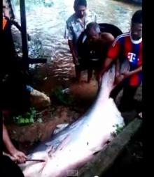 จับปลาบึกใหญ่ยักษ์ กินกันได้ทั้งหมู่บ้าน!!